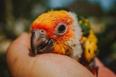 Pássaro de Sun Conure do close up foto de stock royalty free