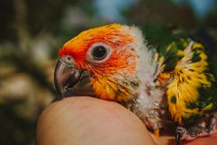 Pássaro de Sun Conure do close up imagens de stock royalty free