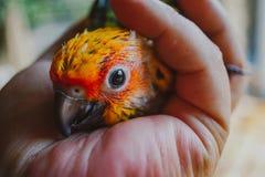 Pássaro de Sun Conure do close up fotografia de stock royalty free