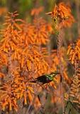 Pássaro de Sunbird que senta-se em um grupo de flores Imagem de Stock Royalty Free