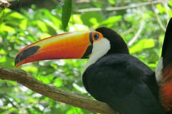 Pássaro de Toucan Foto de Stock Royalty Free