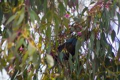 Pássaro de Tui escondido na árvore imagem de stock