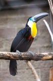 Pássaro de Tukan no jardim zoológico Fotografia de Stock