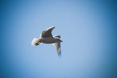 Pássaro de vôo Foto de Stock Royalty Free
