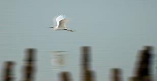 Pássaro de vôo rápido Fotografia de Stock Royalty Free