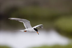 Pássaro de vôo Imagens de Stock Royalty Free