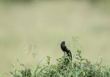 Pássaro de viúva masculino Masai Mara, Kenya imagens de stock