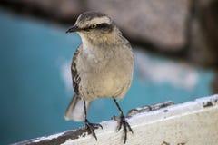 Pássaro de Vinhedos Fotografia de Stock