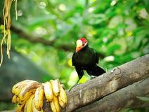 Pássaro de Violet Turaco Imagem de Stock Royalty Free