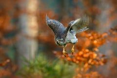 Pássaro de voo do Goshawk da rapina com a floresta alaranjada borrada da árvore do outono no fundo Fotografia de Stock