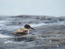 Pássaro de Willet do bebê na praia em Costa Rica fotografia de stock royalty free