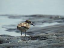Pássaro de Willet do bebê na praia em Costa Rica imagem de stock