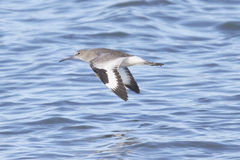 Pássaro de Willet que voa sobre a água Fotos de Stock Royalty Free