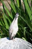 Pássaro irritado Fotografia de Stock