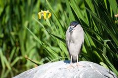 Pássaro irritado Foto de Stock Royalty Free