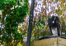 Pássaro dirigido branco do abutre do Velho Mundo da espécie em vias de extinção dos abutres criticamente fotos de stock