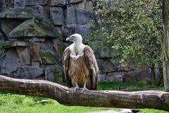Pássaro do abutre Fotos de Stock Royalty Free