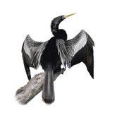 Pássaro do Anhinga (Anhinga do Anhinga) fotos de stock royalty free