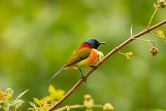 Pássaro do arco-íris Imagens de Stock Royalty Free