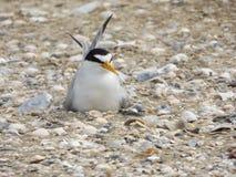 Pássaro do assentamento Foto de Stock Royalty Free