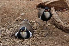 Pássaro do assentamento e seu protetor fotografia de stock