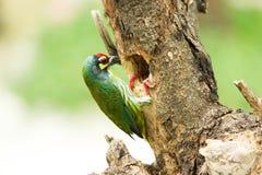 Pássaro do barbet do Coppersmith Foto de Stock