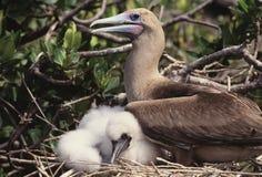 Pássaro do Booby com bebê fotografia de stock royalty free