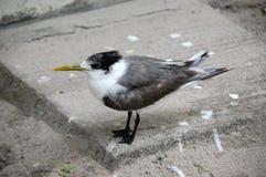 Pássaro do branco cinzento com o bico amarelo longo Fotografia de Stock