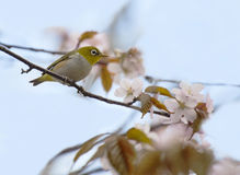 pássaro do Branco-olho em uma cereja de florescência fotos de stock royalty free