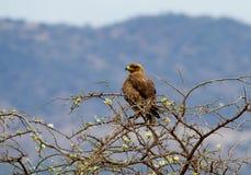 Pássaro do buzzard de Brown Fotos de Stock Royalty Free