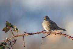 Pássaro do canto do Dunnock Fotografia de Stock Royalty Free