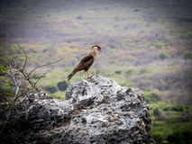 Pássaro do Caracara Imagem de Stock Royalty Free