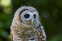 Pássaro do chacoensis do strix da coruja de Chaco do juvenil de rapina foto de stock royalty free
