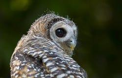 Pássaro do chacoensis do strix da coruja de Chaco do juvenil de rapina fotos de stock royalty free