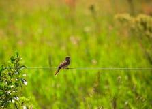 Pássaro do Chickadee em um fio fotografia de stock