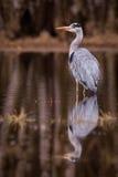 Pássaro do cinza da garça-real Fotografia de Stock
