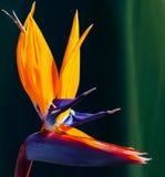 Pássaro do close up da flor de paraíso contra um fundo colorido escuro fotografia de stock royalty free