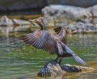 Pássaro do cormorão Imagens de Stock