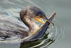 Pássaro do Cormorant com peixe-agulha do jacaré Imagens de Stock