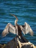 Pássaro do Cormorant na rocha fotografia de stock royalty free