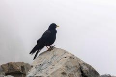 Pássaro do corvo da montanha nos cumes bávaros perto dos animais selvagens de Zugspitze do ponto o mais alto de Alemanha preto e  Imagem de Stock Royalty Free