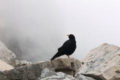 Pássaro do corvo da montanha nos cumes bávaros perto dos animais selvagens de Zugspitze do ponto o mais alto de Alemanha preto e  Fotografia de Stock