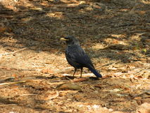 Pássaro do cuco Foto de Stock Royalty Free