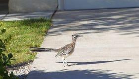 Pássaro do cuco terrestre australiano que anda em torno de uma vizinhança do abq de New mexico durante um dia de verão quente Fotos de Stock