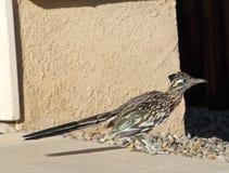 Pássaro do cuco terrestre australiano que anda em torno de uma vizinhança do abq de New mexico durante um dia de verão quente Imagens de Stock Royalty Free