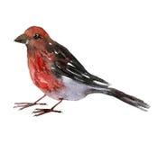 Pássaro do desenho da aquarela Imagens de Stock