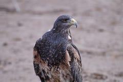 Pássaro do falcão Imagens de Stock Royalty Free