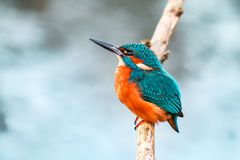 Pássaro do fisher do rei em um ramo imagem de stock