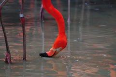 Pássaro do flamingo na natureza Fotografia de Stock