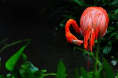 Pássaro do flamingo na natureza Imagens de Stock Royalty Free